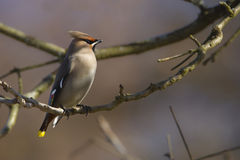 Bombycilla garrulus, Bohemian waxwing standing on a branch Stock Photography