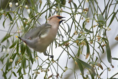Bombycilla garrulus, Bohemian waxwing standing on a branch Royalty Free Stock Photo