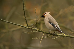 Bombycilla garrulus, Bohemian waxwing standing on a branch Stock Photos
