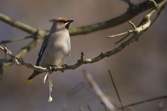 Bombycilla garrulus, Bombycilla garrulus, Bohemian waxwing standing on a branch Royalty Free Stock Image