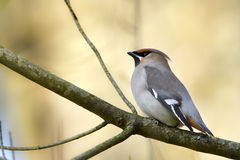 Bombycilla Garrulus, Bombycilla Garrulus, Bohemian Waxwing Standing On A Branch Stock Photo