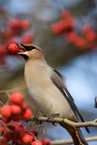 Bombycilla garrulus, Waxwing. The bird is hawthorn berries. The beak is opened and it is visible tongue Stock Image