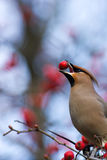 Bombycilla garrulus, Waxwing. The bird is hawthorn berries. The beak is opened and it is visible tongue Royalty Free Stock Photo
