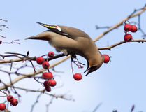 Bombycilla garrulus, Waxwing. The bird is hawthorn berries. The beak is opened and it is visible tongue Stock Images