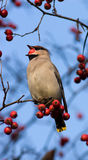 Bombycilla garrulus, Waxwing. The bird is hawthorn berries. The beak is opened and it is visible tongue Royalty Free Stock Image