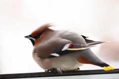 Bombycilla garrulus, Waxwing, Royalty Free Stock Images