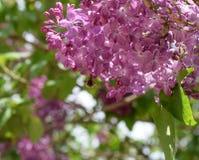 Bombyliidae sur le lilas Mouche hirsute sur des couleurs lilas insecte pollinisateur photographie stock