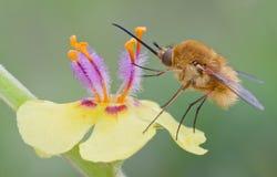 Bombylius ha som huvudämne i vår på blomman Royaltyfri Bild