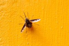 Bombylius la abeja-mosca grande I Imagen de archivo
