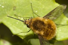 Bombylius major Stock Photos