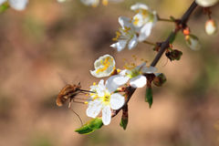 Bombylius major. Royalty Free Stock Images