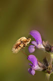 Bombylius major Royalty Free Stock Photography
