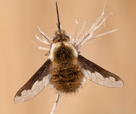 Bombylius major hangs on a dry plant Royalty Free Stock Photography