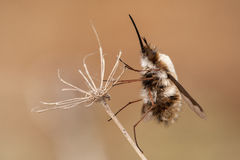 Bombylius major hangs on a dry plant Royalty Free Stock Photo