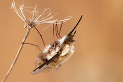 Bombylius major hangs on a dry plant Royalty Free Stock Image