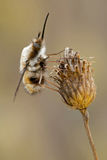 Bombylius major hangs on a dry plant Royalty Free Stock Images