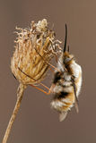 Bombylius major hangs on a dry plant Stock Images