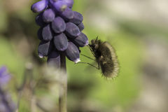 Bombylius major Stock Photography