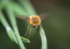Bombylius resting on the grass Royalty Free Stock Images