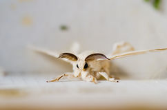 Bombyx Mori Royalty Free Stock Photos
