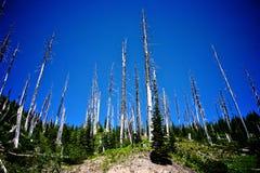 Bomen bij MT St Helens Royalty-vrije Stock Fotografie