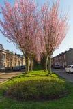 Bomen in bloesem tijdens de vroege lente in Maastricht stock foto's