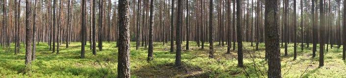 Bomen in bos stock foto