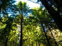 Bomen in de blauwe hemel van zon meest forrest bergen Stock Fotografie