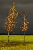 Bomen (de esdoorn en de berk) Stock Afbeeldingen