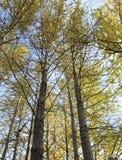 Bomen in de herfst die omhoog blauwe hemel gouden bladeren kijken stock afbeelding