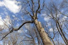 Bomen in de lente in het hout, mening omhoog Stock Afbeelding