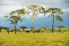 Bomen in de savanne na regen royalty-vrije stock afbeelding