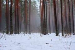 Bomen in de winterbos Stock Afbeeldingen