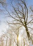 Bomen in de winterzonsondergang met zonnestralen stock foto's