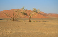 Bomen in de woestijn Stock Foto