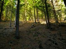 Bomen in de zon meest forrest bergen Royalty-vrije Stock Foto's