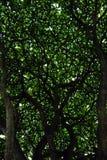 Bomen die aangrenzend groeien Royalty-vrije Stock Afbeeldingen
