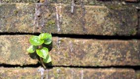 Bomen die in de baksteen groeien Oude oude rode bakstenen muur met kleine groene boomspruit in muur Concept hoop en wedergeboorte royalty-vrije stock foto