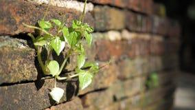 Bomen die in de baksteen groeien Oude oude rode bakstenen muur met kleine groene boomspruit in muur Concept hoop en wedergeboorte royalty-vrije stock fotografie
