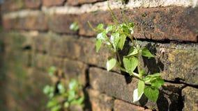 Bomen die in de baksteen groeien Oude oude rode bakstenen muur met kleine groene boomspruit in muur Concept hoop en wedergeboorte stock foto's