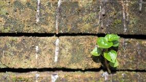 Bomen die in de baksteen groeien Oude oude rode bakstenen muur met kleine groene boomspruit in muur Concept hoop en wedergeboorte stock afbeeldingen