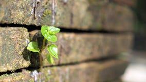 Bomen die in de baksteen groeien Oude oude rode bakstenen muur met kleine groene boomspruit in muur Concept hoop en wedergeboorte royalty-vrije stock foto's