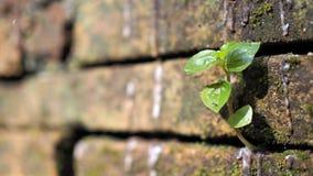 Bomen die in de baksteen groeien Oude oude rode bakstenen muur met kleine groene boomspruit in muur Concept hoop en wedergeboorte stock afbeelding