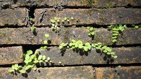 Bomen die in de baksteen groeien Oude oude rode bakstenen muur met kleine groene boomspruit in muur Concept hoop en wedergeboorte stock foto