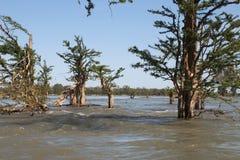 Bomen die in het overstroomde bos groeien stock foto's