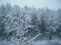 Bomen die met sneeuw worden behandeld Bevroren bos stock afbeelding