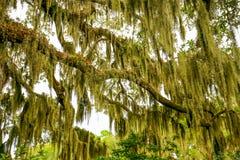 Bomen die met Spaans mos in de Zuidelijke V.S. overhangen stock foto's