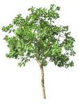 Bomen die op wit worden geïsoleerdl Stock Afbeeldingen