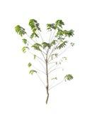 Bomen die op wit worden geïsoleerdl Royalty-vrije Stock Fotografie