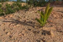 Bomen die op zand groeien. Stock Fotografie